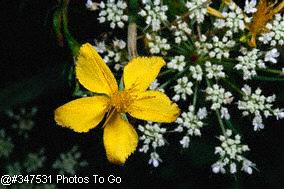 St. Johns wort w/ Queen Annes lace